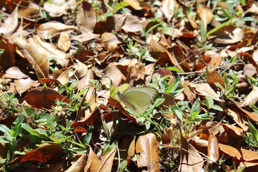 BUTTERFLY: Butterflies are self propelled flowers. - Robert A. Heinlen