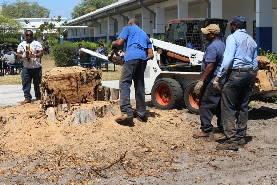 CHAINSAWED AGAIN: The tree that was a favorite source of lunchtime shade took another hit as a School District crew attacked on Friday.