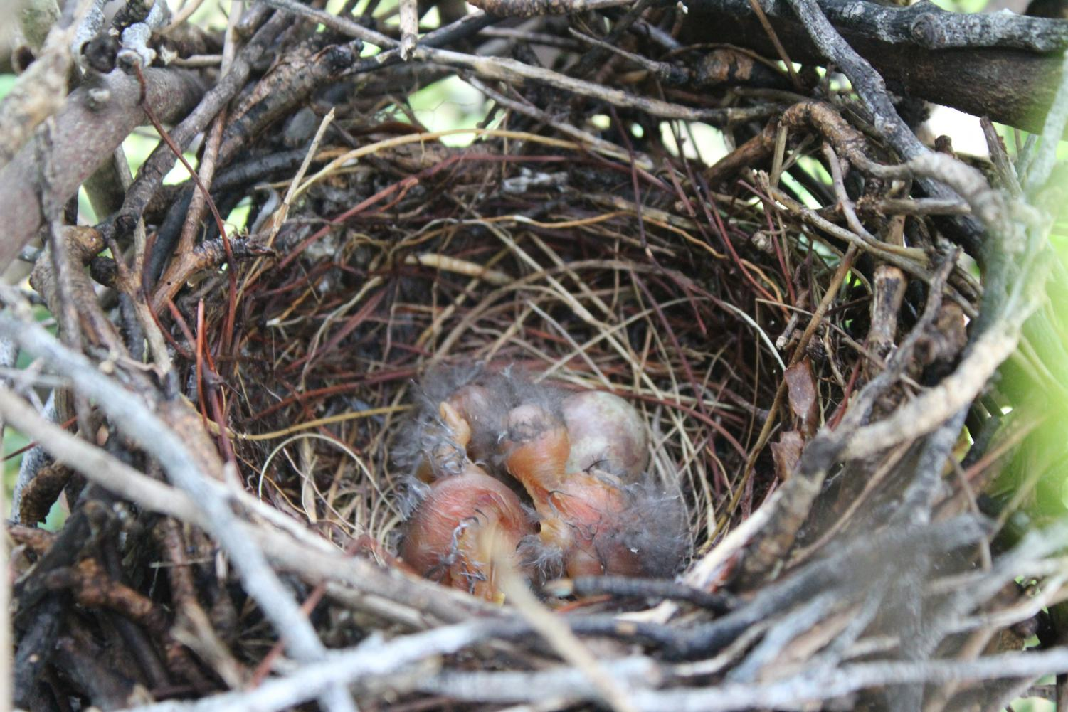 LIFE: Welcome the latest members of the Inlet family, three newly hatched baby birds!