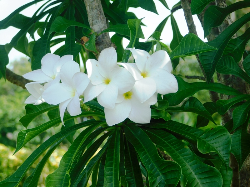 THOSE FRANGIPANI: Basking in the light.