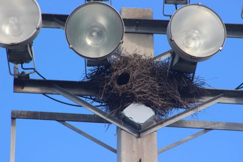 DISCOVERY CHANNEL: Football players of Inlet Grove noticed a huge bird nest on a pole Oct 3. at the field where they were practicing for their game against Suncoast on Friday, Oct.4.