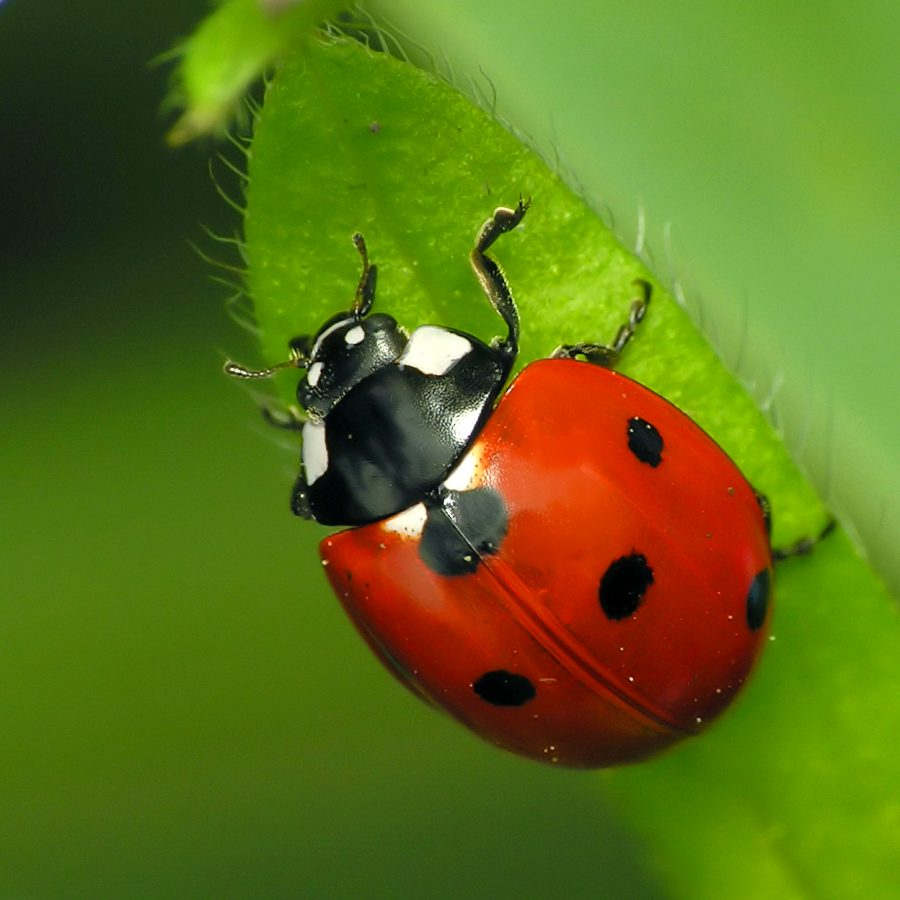 LADYBUG: An insect  that gets a pass, unlike others of unfavorable image.