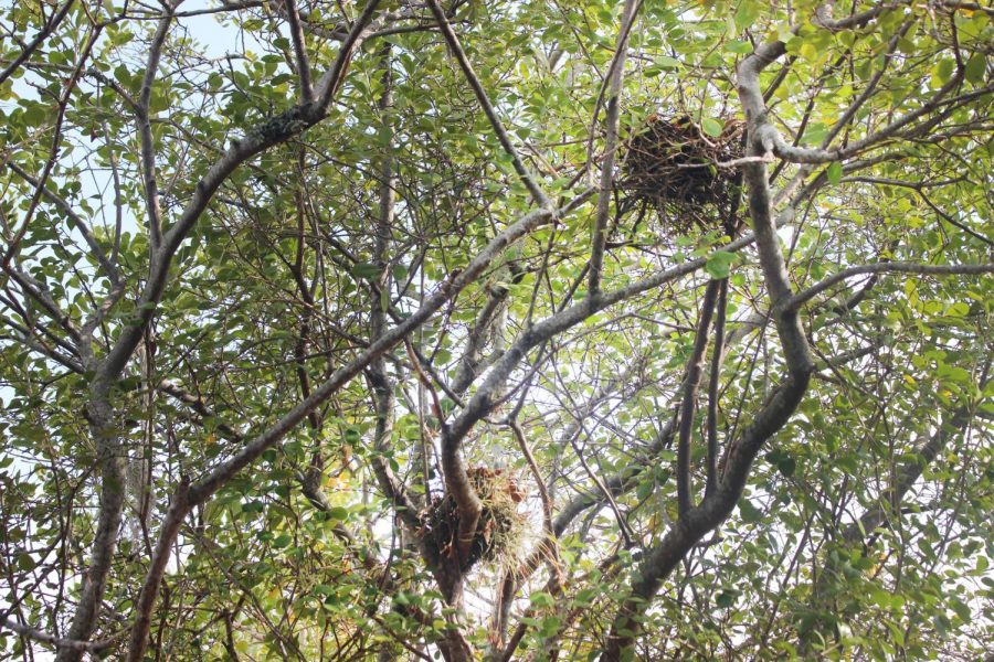 BEST FRIENDS FOREVER: Two bird nests assembled in the same tree like Cane companions.