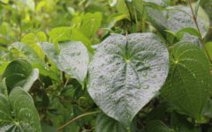 Drip Drop: Plants get a shower due to the stormy weather.